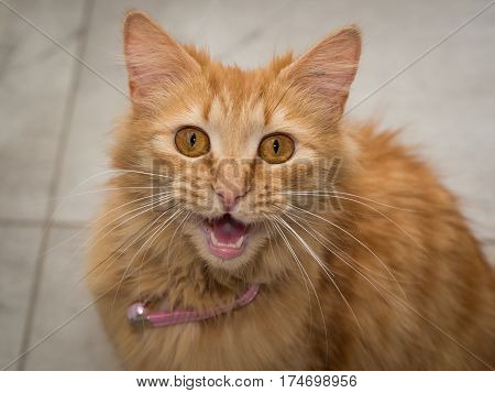 Ginger cat meowing straight at the camera