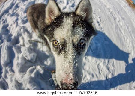 Fish Eye Portrait Of Husky Dog Muzzle Closeup