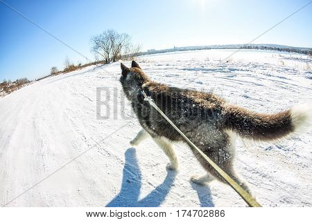 Aerial Photo With Drone Husky Puppy Walking On A Leash