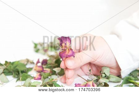 dried rose flowers in hand. A close up