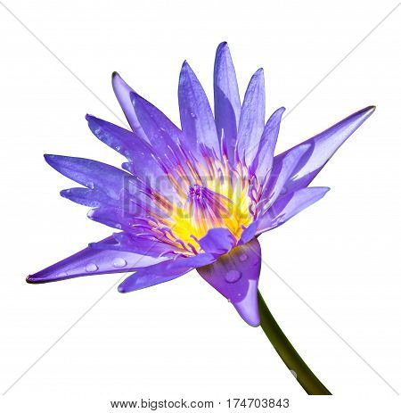 Purple Lotus Flower Isolated On White Background
