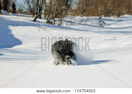 Shaggy Black Russian Terrier Dog Running In Snow