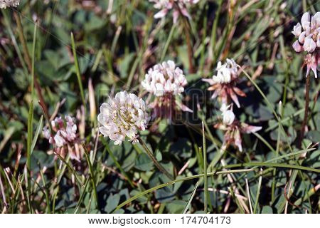 A stand of white clover (Trifolium repens) blooms  in Joliet, Illinois during June.