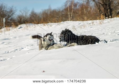 Young Husky And Black Russian Terrier Play Fighting In Snow