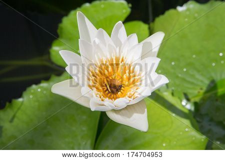 white lotus flower with bee close up