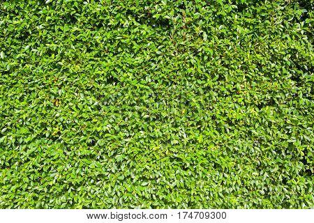 green leaf wall background in garden growth