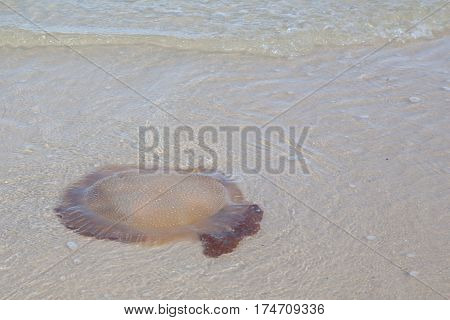 Jellyfish on the beach in the sea