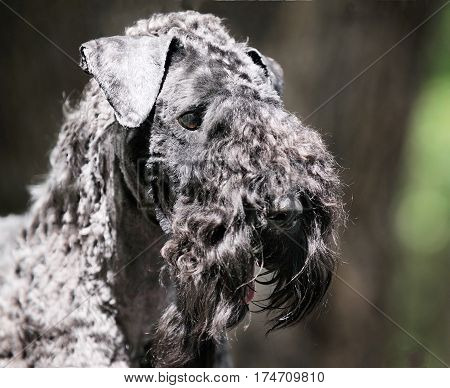 Kerry blue terrier dog outdoor portrait over blurry background
