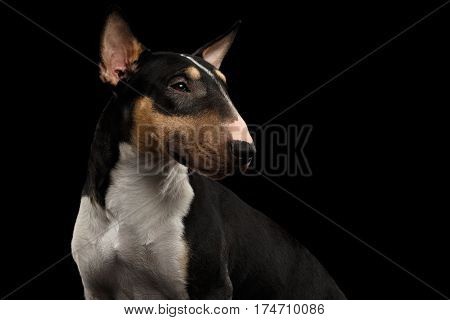 Portrait of Gorgeous Bull Terrier Dog Looking back on isolated Black background