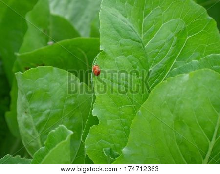 Close-up of two red ladybugs making love on the vibrant green vegetable leaf