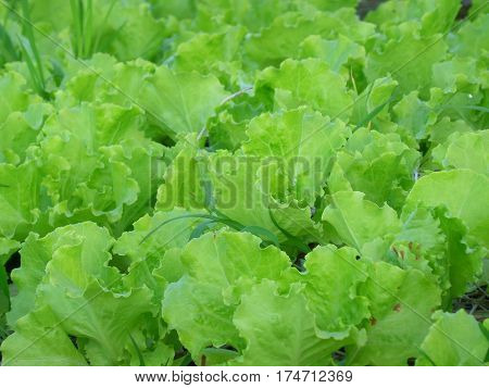Vibrant Color Green Oak Lettuce under the Morning Sunlight, Organic Farm in Thailand poster