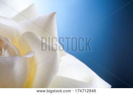white rose flower on blue background