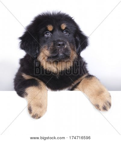 puppy of the Tibetan mastiff holds a banner