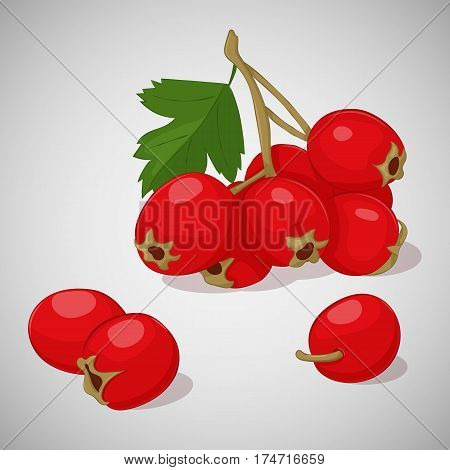 Bright juicy hawthorn on grey background. Sweet delicious for your design in simple cartoon style. Vector illustration. Berries Collection.