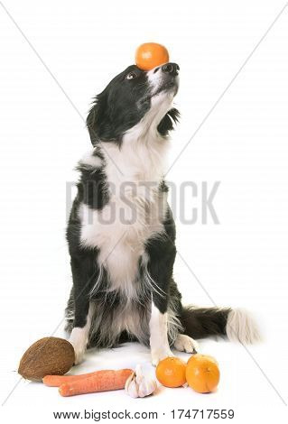 border collie vegan in front of white background