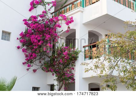 A pink oleander plant on a building