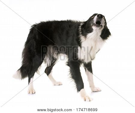 border collie barking in front of white background