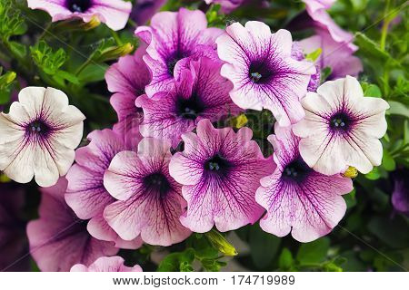 purple petunia flowers in the garden in Spring time. Shallow depth of field
