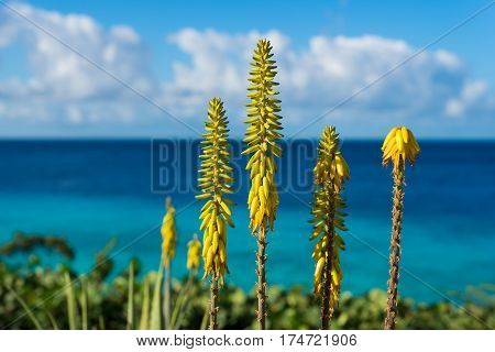 Blossoming yellow flowers aloe-vera plant and blue sea Curacao island Carribbean region