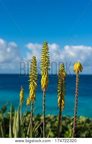 Blossoming yellow flowers aloe-vera plant and blue sea Curacao island Caridbean region