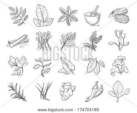 Vintage hand drawn herbs and spices, sketch drawing plants vector collection. Nature ingredient herbs, organic botanical aroma herbs illustration