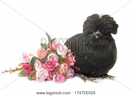 Padovana chicken in front of white background