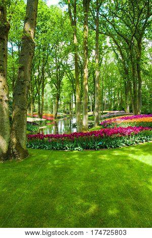 The tulip field in Keukenhof flower garden, Lisse, Netherlands, Holland