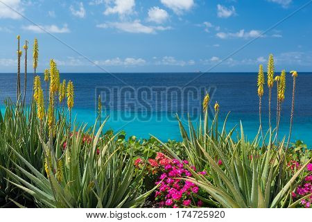 Blossoming yellow flowers aloe-vera plant and blue sea Curacao island Caribbean, Netherlands Antillen