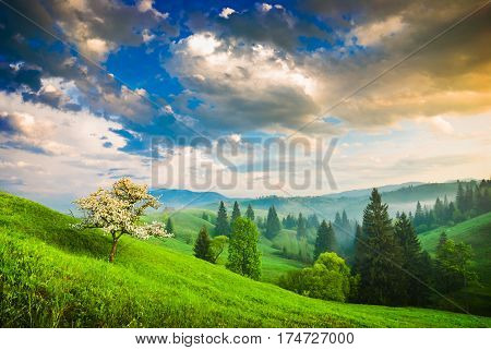 Blossom apple tree on a green hill in a Carpathian mountains. Bright majestic sunrise with dramatic low stormy clouds