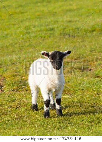 Lamb with black face in spring Isle of Mull Scotland uk Scottish animal