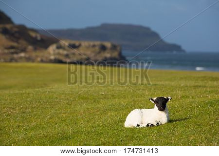 Isle of Mull Scotland uk lamb with black face in spring
