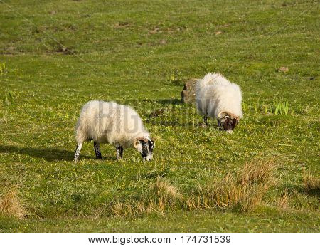 Sheep isle of Mull Scotland uk with woolly coat and horns