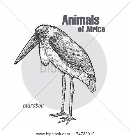 Bird Marabou hand drawing. Animals of Africa series. Vintage engraving style. Vector illustration art. Black and white. Object of nature naturalistic sketch.