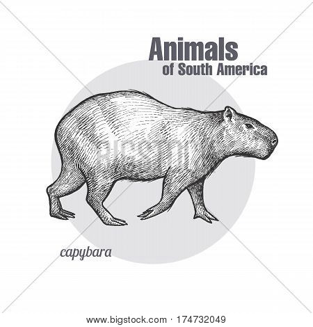 Capybara hand drawing. Animals of South America series. Vintage engraving style. Vector illustration art. Black and white. Object of nature naturalistic sketch.
