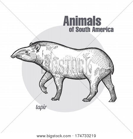 Tapir hand drawing. Animals of South America series. Vintage engraving style. Vector illustration art. Black and white. Object of nature naturalistic sketch.