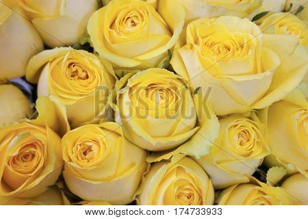 yellow and white roses close up for background