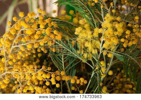 beautiful yellow Mimosa flowers close up for background