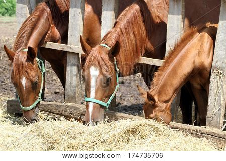 Chestnut mares and foals eating hay on the ranch