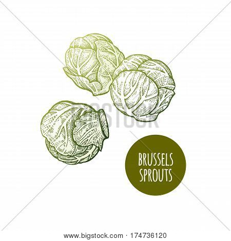 Brussels sprouts. Hand drawing vegetables. Vector illustration art. Green and white. Vintage engraving. Kitchen design.