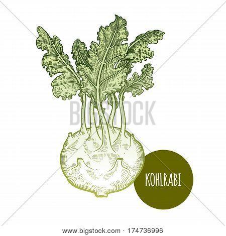 Cabbage kohlrabi. Hand drawing vegetables. Vector illustration art. Green and white. Vintage engraving. Kitchen design.
