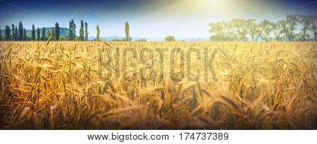 Wheat field in a blindingly bright midday light