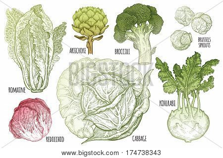 Color vegetables set. Isolated cabbage kohlrabi brussels sprouts broccoli Chinese cabbage artichoke. Hand drawing vegan food. Black and white plants. Vector illustration art. Vintage engraving