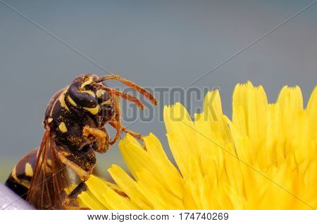 Wasp on dandelion flower in springtime. Collecting nectar