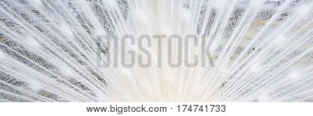 white peacock tail feathers panoramic banner texture background