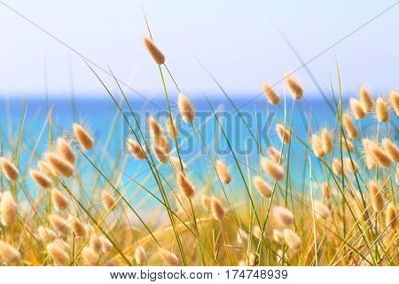Bunny Tails Grass Lagurus Ovatus at the beach