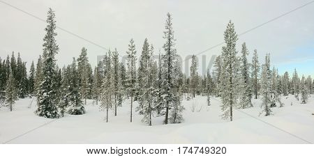 Winter panorama of fir trees covered with snow.