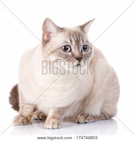 white scottish gray cat with blue eyes on white background