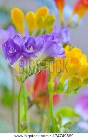 Bouquet of freesias flowers in vase, close up