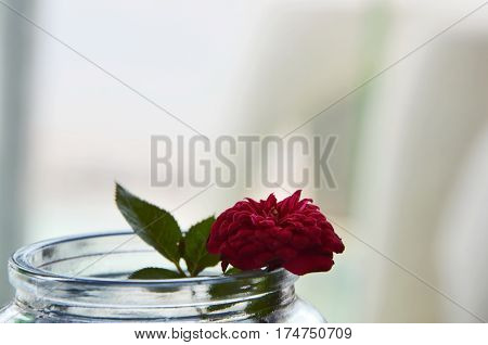 red pygmy rose on water in glass bottle