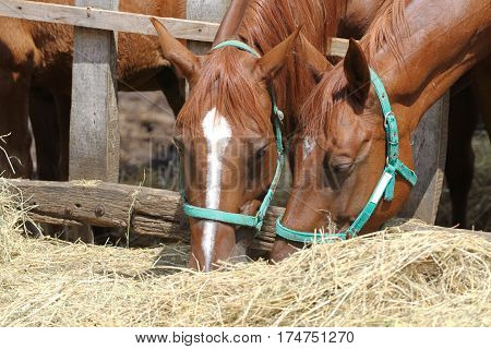 Chestnut mares eating hay on the ranch summertime
